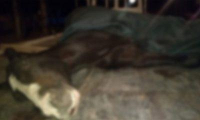 Caballo quebrado y muerto de un tiro