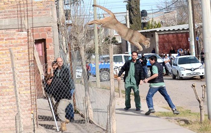 Puma prófugo