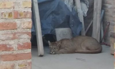 Un puma apareció en una vivienda de Neuquén