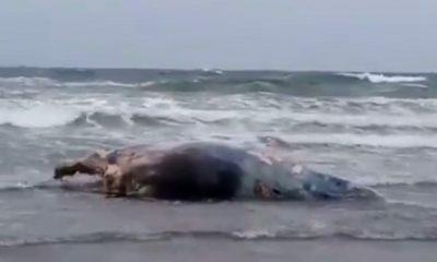 Ballenato muerto en la costa de Pirámides