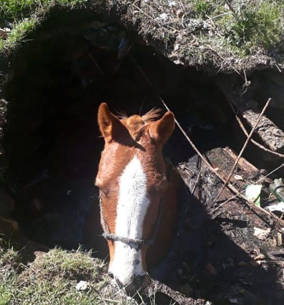 Caballo rescatado de un pozo ciego en Corcovado