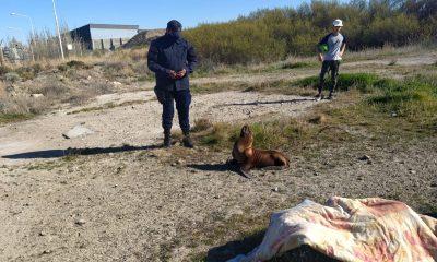 Detuvieron a un lobito marino en Comodoro