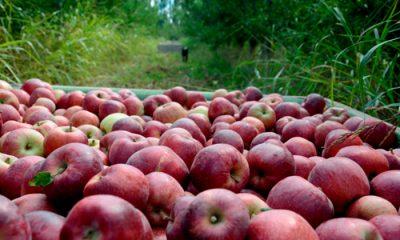 Manzanas de Río Negro la mejor temporada en 15 años