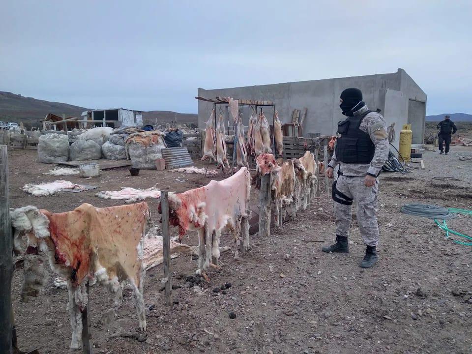 Robaron 300 ovinos y la Policía los encontró en plena faena